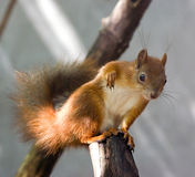 Curious red squirrel (Sciurus vulgaris) Stock Photos