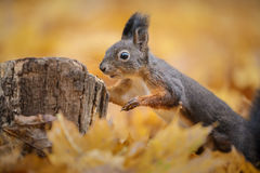 A curious red squirrel Stock Photography