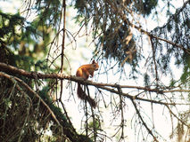 Curious Red Squirrel Stock Photography