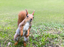 Curious red squirrel standing on grass in spring park in search Stock Images
