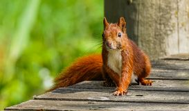 Curious red squirrel on wood deck. A curious red squirrel walking on a wood deck stock photo