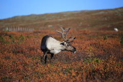 Curious reindeer in Pallas-Yllastunturi National Park Royalty Free Stock Photography