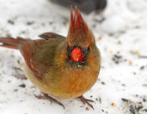 Curious Remale Red Cardinal Royalty Free Stock Images