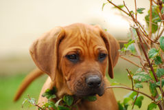 Curious Rhodesian puppy Stock Photography