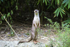 Curious River Otter Stock Images
