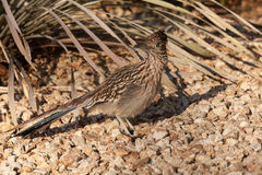 Curious Roadrunner. A curious roadrunner pauses in the desert to look for prey royalty free stock images