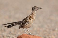 Curious Roadrunner on Rock Royalty Free Stock Photo