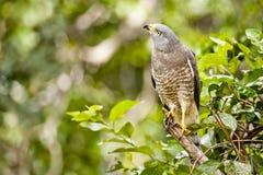 Curious Roadside Hawk Stock Photo