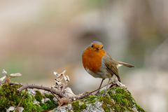 Curious Robin standing on a rock stock photos