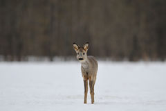 Curious roe deer Stock Image