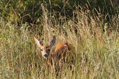 Curious roe deer hind Royalty Free Stock Images