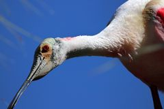 Curious Roseate Spoonbill close up royalty free stock photo