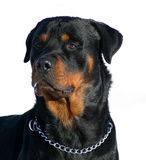 Curious rottweiler. Watching purebred mastiff rottweiler detoured: beautiful dog Stock Images