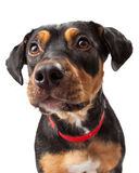 Curious Rottweiler Dog Mix Portrait. Curious Rottweiler young dog looks to the side of the camera royalty free stock photography