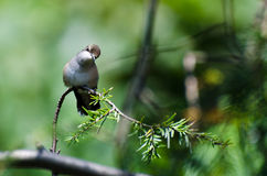 Curious Ruby-Throated Hummingbird Perched in a Tree Royalty Free Stock Images