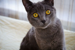 The curious  russian blue cat Royalty Free Stock Images