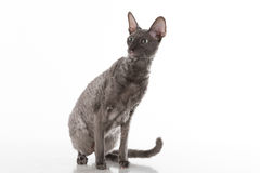 Curious and Scared Black Cornish Rex Cat Sitting on the White Table with Reflection. White Background. Portrait. Looking Right. Royalty Free Stock Photography