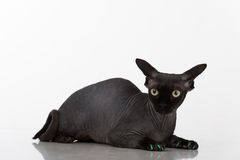 Curious and Scared Black Sphynx Cat with green nails. Isolated on white background. Royalty Free Stock Images