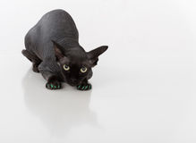 Curious and Scared Black Sphynx Cat with green nails. Isolated on white background Stock Image