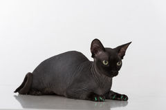 Curious and Scared Black Sphynx Cat with green nails. Isolated on white background. Looking Down Royalty Free Stock Photography
