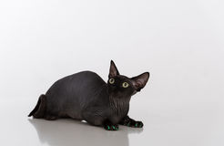 Curious and Scared Black Sphynx Cat with green nails. Isolated on white background. Looking Up Royalty Free Stock Photos