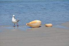 Curious seagull with shells on a tropical beach Royalty Free Stock Photography