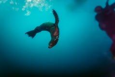 Curious sea lion checks out divers. Curious sea lion checks out nearby divers Royalty Free Stock Photo