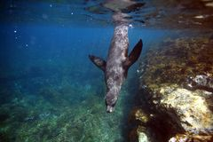 Curious sea lion swimming underwater Royalty Free Stock Image