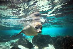 Curious sea lion underwater Stock Photo