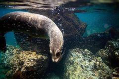 Curious sea lion underwater Stock Image