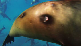 Curious sea lions stock video footage