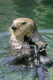 Curious Sea Otter Stock Photo