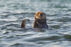 Curious sea otter peeking above the water Stock Images