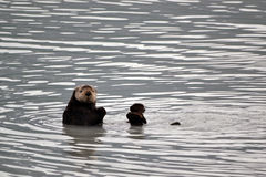 Curious Sea Otter Stock Image