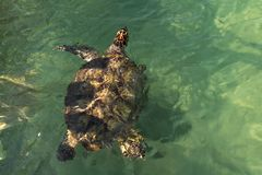 Curious sea turtle swims close to boat royalty free stock image