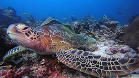 Curious sea turtle. Tropical sea turtlefish lying on Raja Ampat Sea Park West Papua Indonesia. This is endangered creature that must be protected stock images