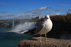 Curious Seagul. A seagull near Niagara falls looking at me Royalty Free Stock Images