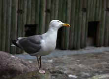 Curious seagull Stock Photos