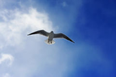 Curious seagull. Single seagull is flying high above at deep blue sky and looking down right at me Stock Photography