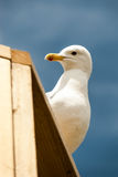 Curious seagull. A seagull peeks out from from the top of a building Stock Photo