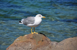 Curious Seagull on the Rocks Stock Image