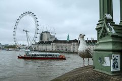 A portrait picture of the curious seagull. stock images
