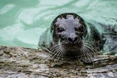 Curious seal Stock Photos