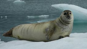Curious seal stock footage