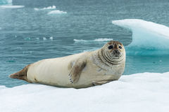 Curious seal stock images