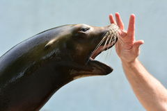 Curious seal Royalty Free Stock Photos