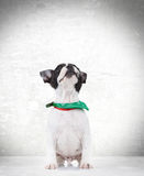 Curious seated french bulldog puppy dog looking up Royalty Free Stock Photography