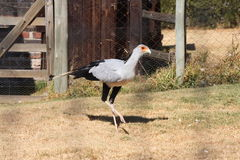 Curious Secretary Bird Stock Images