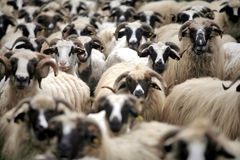 Curious sheep Royalty Free Stock Photos