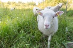 Curious Sheep Royalty Free Stock Photos